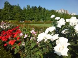 新宿御苑バラ園、トランペッターとラフランスとプライムミニスターナカソネ☆19-5-17