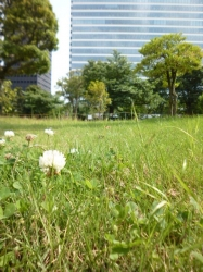 中野セントラルパーク、シロツメクサ☆20-6-2
