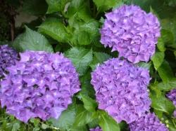 紫陽花、鮮やかな紫☆20-6-2