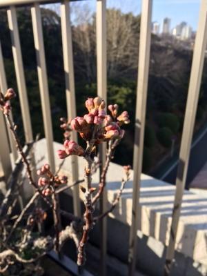 桜の色づき.JPG