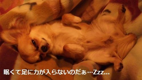 青森犬チワワ竹丸のセクシーポーズ