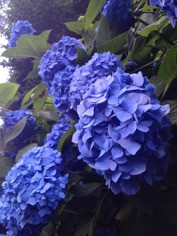 2015 6月 紫陽花♪