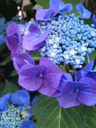 2016紫陽花♪