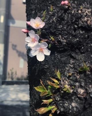 2018春ソメイヨシノ♪ (1).JPG