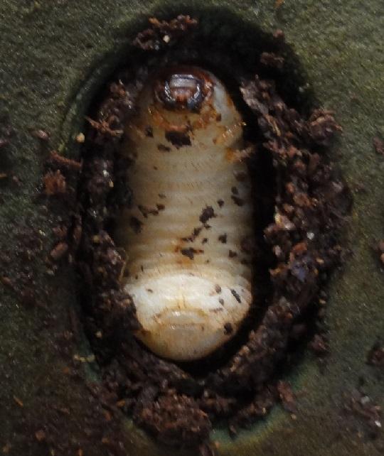カブトムシ 蛹室 崩れた