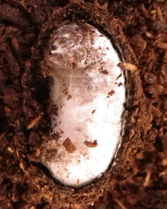 カビ カブトムシ 蛹