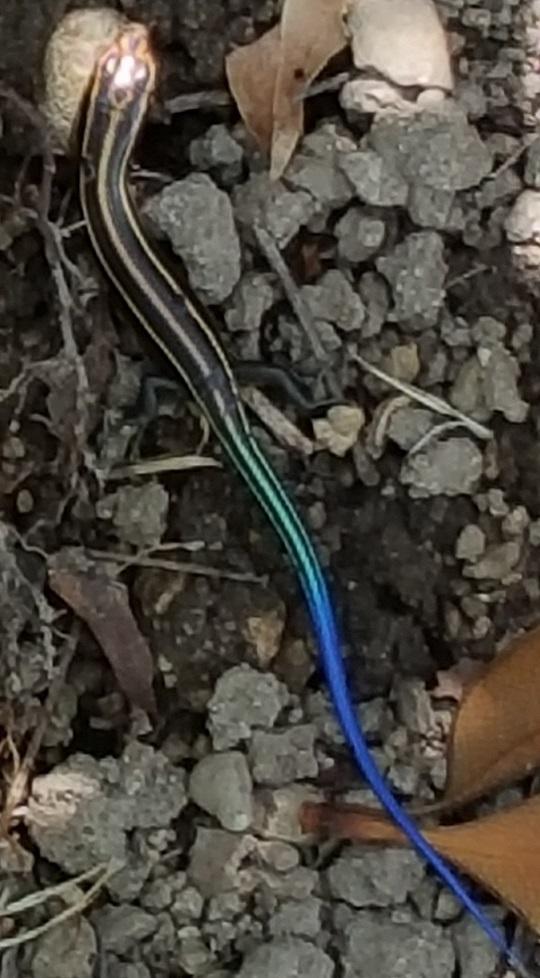 が トカゲ 尻尾 青い