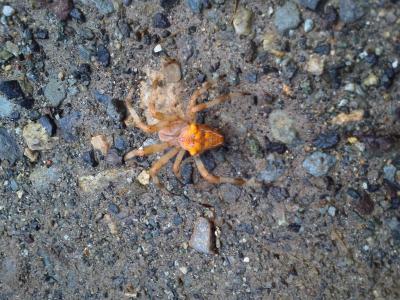 オレンジ色の蜘蛛