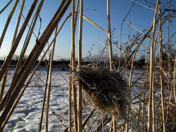 オオヨシキリの巣