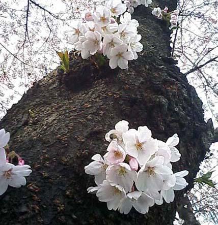 やっと桜前線到達