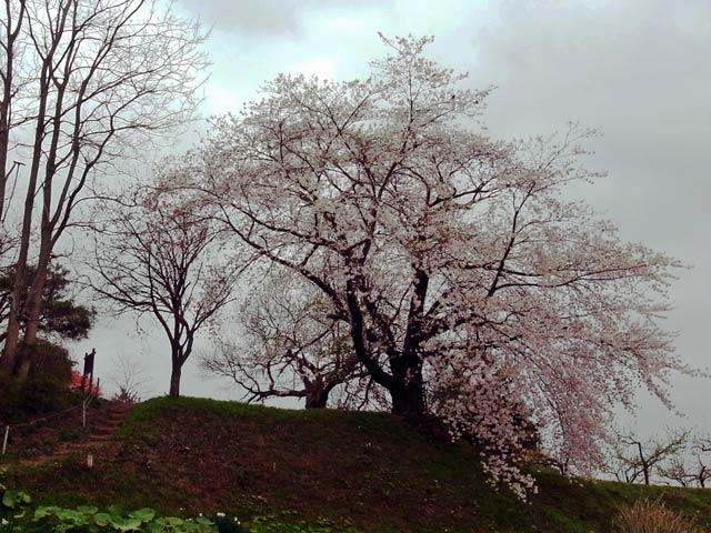 孔子堂の桜