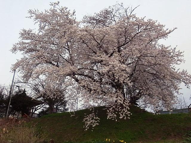 孔子廟と桜