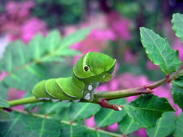 アゲハ幼虫(五令)