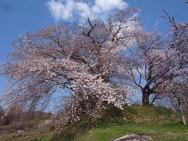 盛岡聖堂の桜