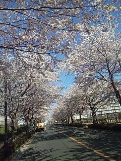 2011満開の桜