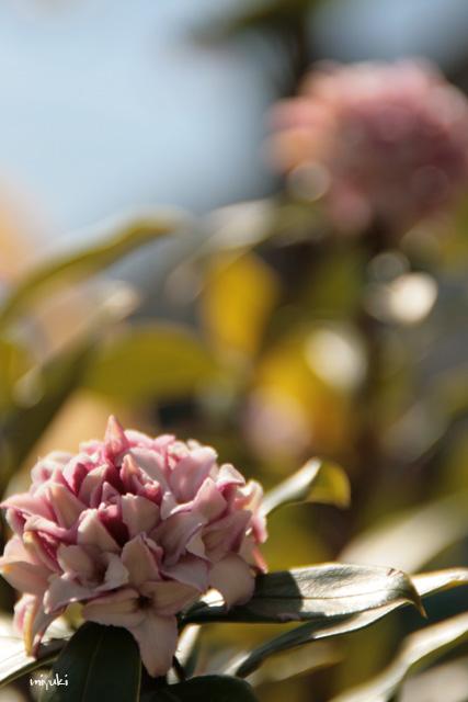 満開沈丁花♪