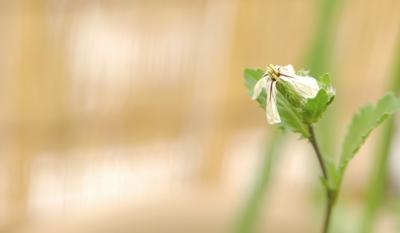 ルッコラ 花