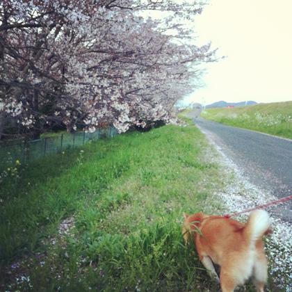 桜とちゅーやん