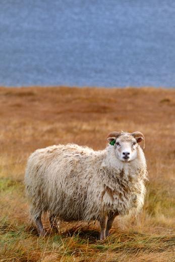 スーザヴィークの羊