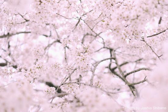4月1日、桜−