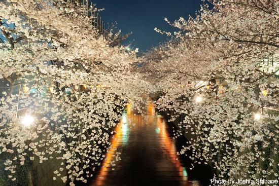 夜桜 at 目黒川