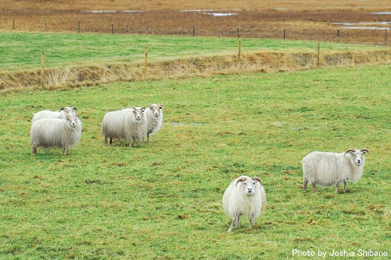 アイスランド羊たち♪