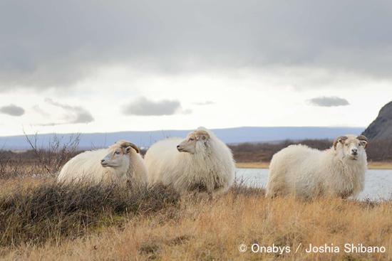 アイスランド羊