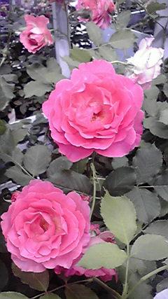 大輪のピンク