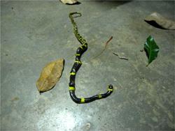 縞模様の蛇