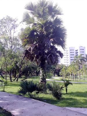 公園の名前にもなっているパームの木