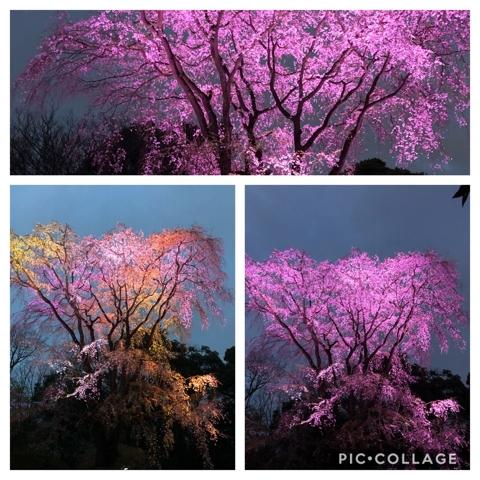 六義園のライトアップされた桜