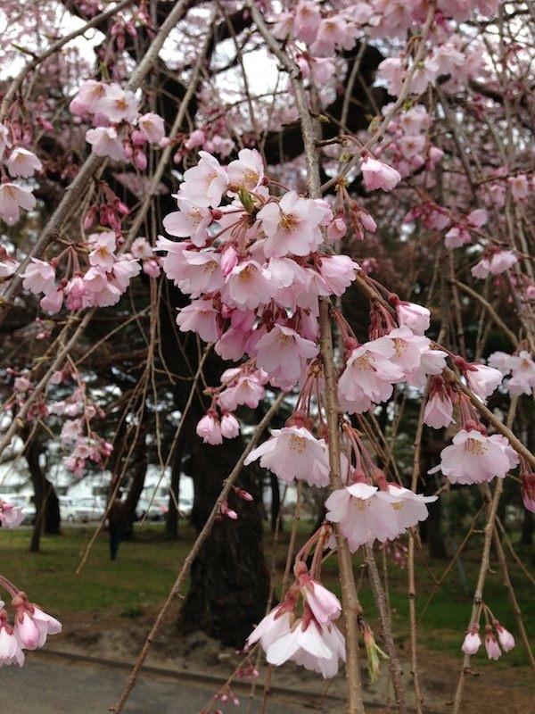 2013 Sakura3