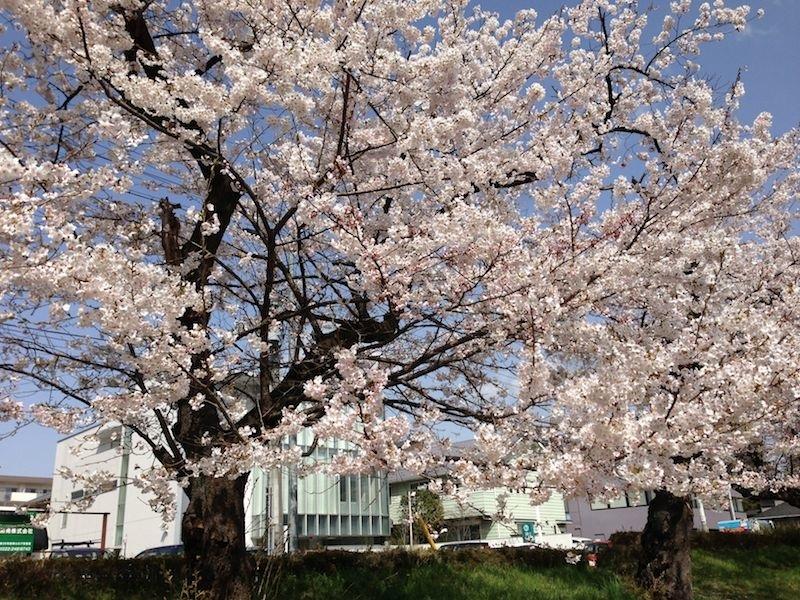 2013 Sakura2