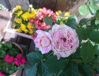 薔薇クロード・モネ