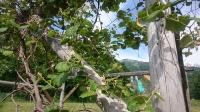 ドッグランのブドウ棚