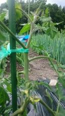 トマトに添え木