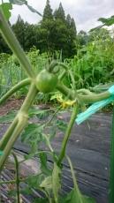 コテージの無農薬畑のミニトマト