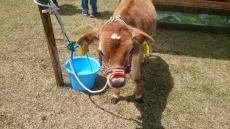 ジャージー牛のシロちゃん