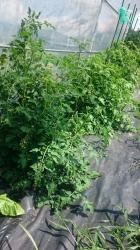 コテージの無農薬畑 手入前のトマト