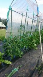 コテージの無農薬畑 二本立ちのトマト