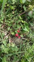 コテージ前庭で見つけたキイチゴ?