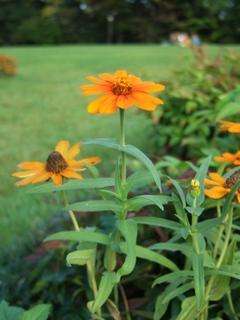 flower(orange)
