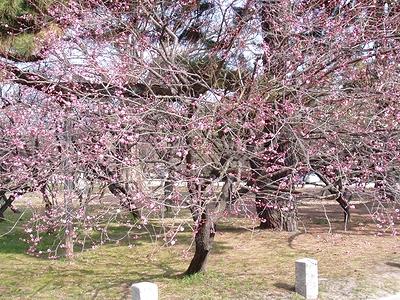 京都御苑の梅園