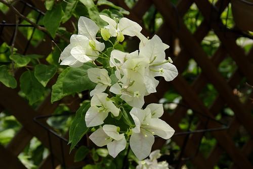 Bougainvillea peruviana(Papillon)