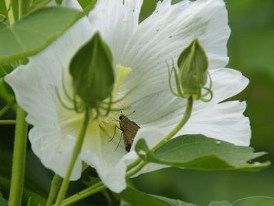 フヨウと蝶