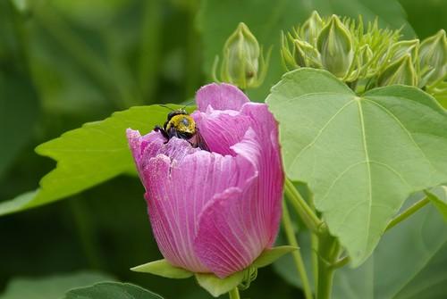 フヨウと蜂