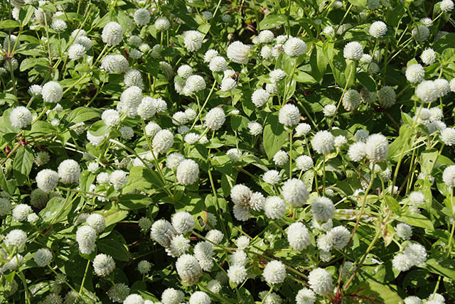 センニチコウ(白花)