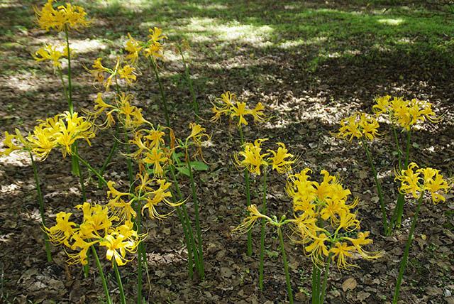 ショウキラン(Lycoris aurea)