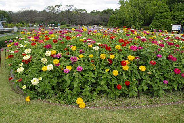 百日草の花壇