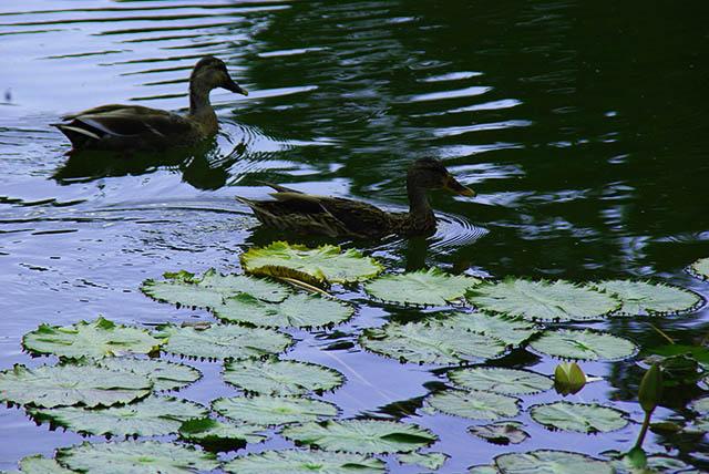 蓮と水連の池で